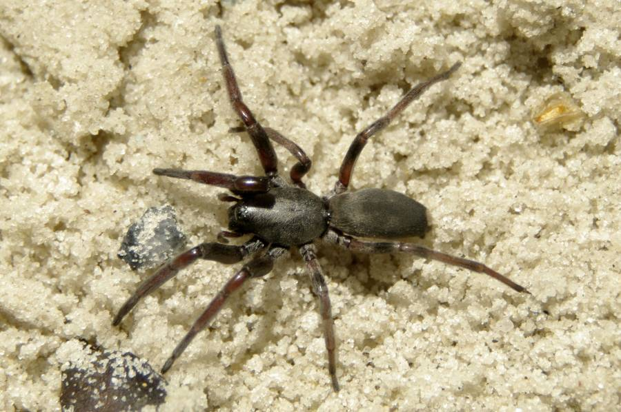 white tail spider bite pictures. White-tailed spider